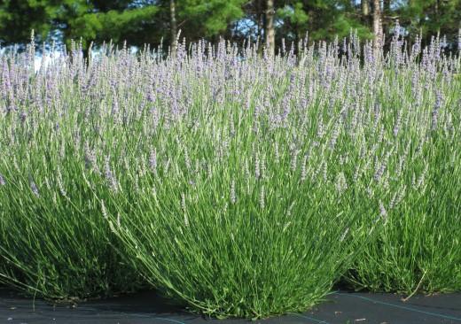 Lavandula angustifolia 'Twickle Purple'