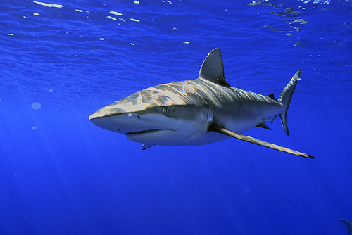 Galapagos sharks reign over the Galapagos' temperate waters.