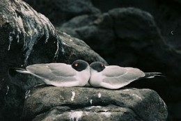 """Swallow-tailed Gull """"marriages"""" are known to last for years. There's little time to impress and date-around."""