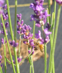 Honeybee on Hidcote Lavender