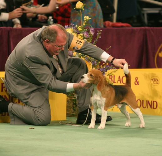 A judge evaluates this beagle according to the breed's standards.