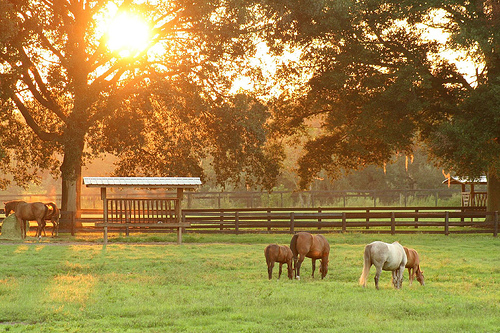 Grazing at sunset near Ocala FL.