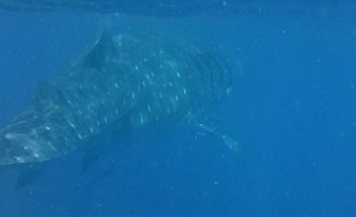 Whale shark during snorkeling tour.