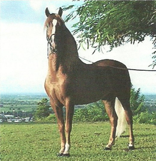A Puerto Rican chestnut stallion poses.