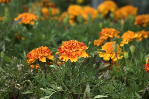 Marigolds are simple to pinch and deadhead.