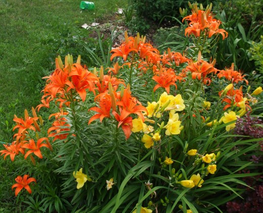 First, you stroll past hybrid lilies and daylilies.