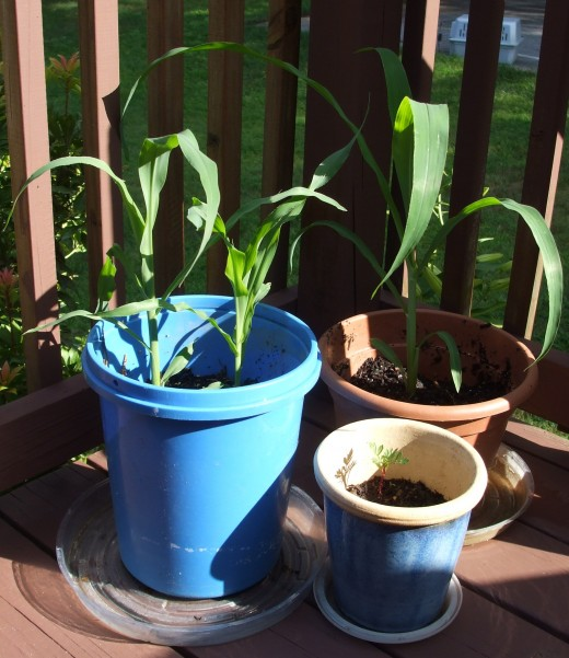 Corn in containers on the deck. How cool is this?