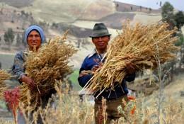 Здоровье: ООН объявила 2013-й год — годом злака киноа