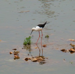 Blackwinged stilt --- found in Puskar lake