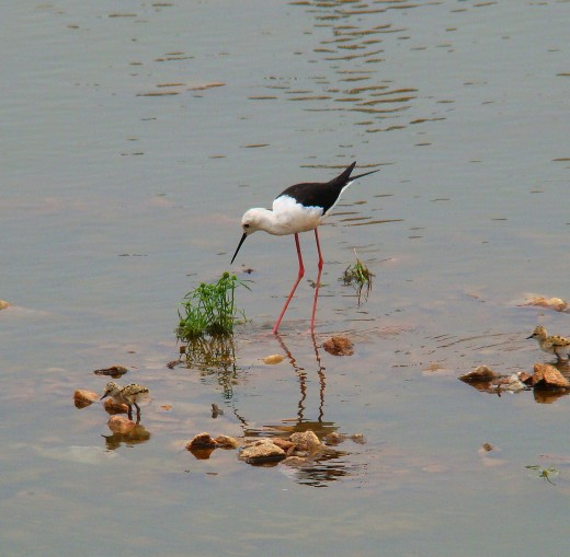Blackwinged stilt --- found in Puskar lake