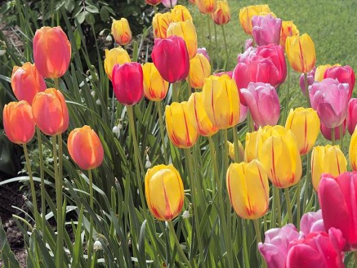 tulips add bold color to your yard