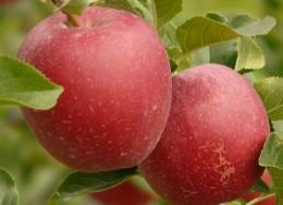 Apple Cider Vinegar made from Applies