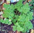 "Parsley (Petroselinum crispum), biennial, 4-10"" tall, grows best in moist, well drained soil, yellow to yellowish-green flowers."
