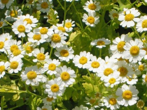 "Feverfew (Tanacetum parthenium), perennial, 18"" tall, grows into small bush, spreads rapidly, daisy-like flower, cut back to ground in fall."