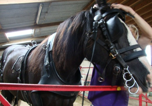 Heavy: Sophie is fitted out in the working horse harnessing demonstration
