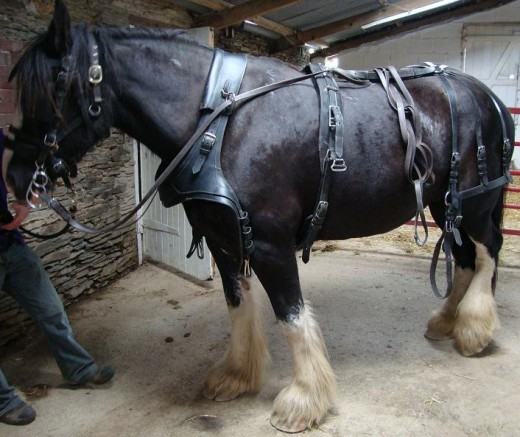 Ready for action: Sophie displays the harness used for working horses