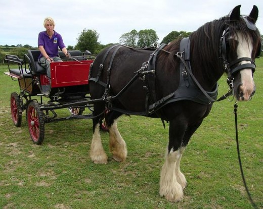 Travel: A farm hand gets ready to take visitors on a horse and cart ride round the field