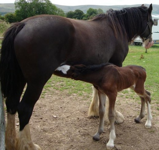 New-born: A foal just two-days old suckles its mother
