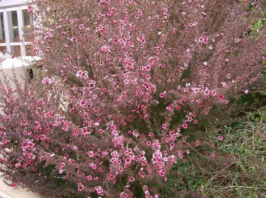Leptospermums are upright flowering shrubs.