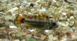 Apistogramma cacatoides-double red