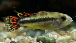 Apistogramma cacatoides-fire red