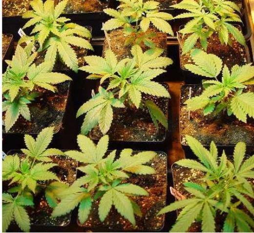 Pictures of several marijuana plants