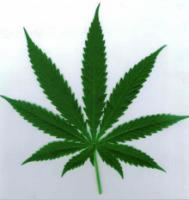 The Common Marijuana Plant