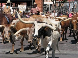 Driving longhorn cattle.