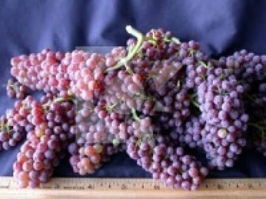 Champagne grapes are the size of peas and not used to make Champagne