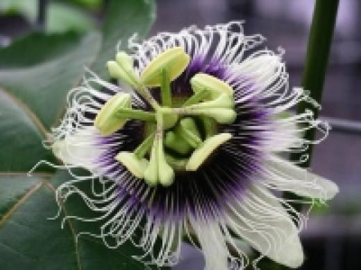 Passion flower/ granadilla