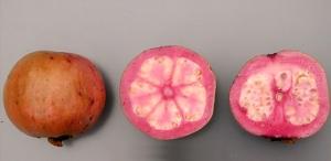 Guava Thai Maroon