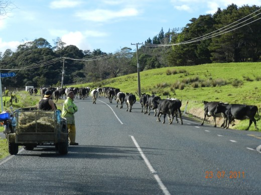 Some New Zealand cows cross our road as they go to be milked