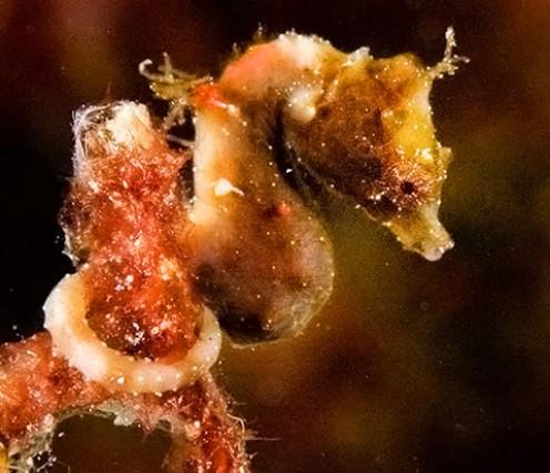 Satomi's pygmy seahorse