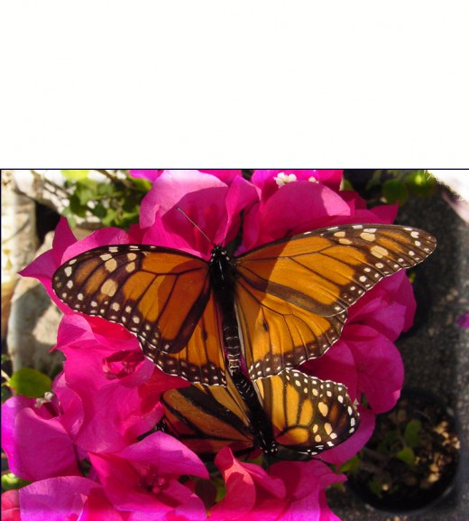 Bougainvillea - Monarch Butterflies