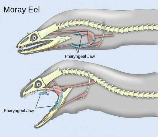 Anatomy of the phyryngeal jaws of the moray eel