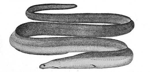 Slender giant moray eel