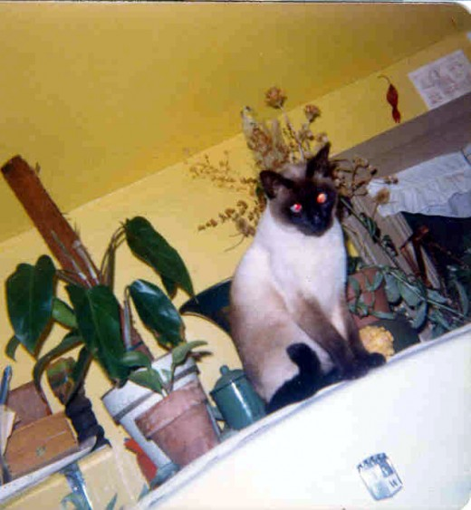 "Pasha sitting on the old refrigerator as he always used to do.  He was a beautiful gift from a lovely next door neighbor who, even then, ""ID'd"" me as a cat rescuer."