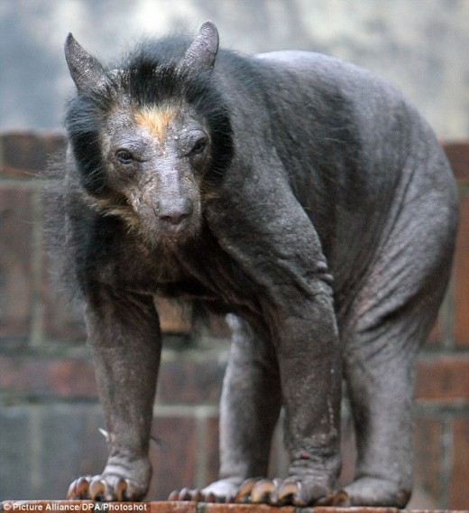 Balding bears have a mystery condition!