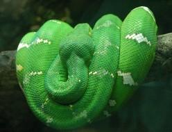 The Emerald Tree Boa