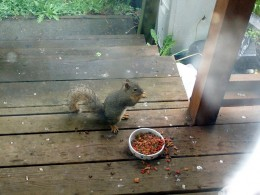 Squirrel eating out of cat food bowl