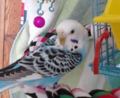 What Your Parakeet Needs: Basics