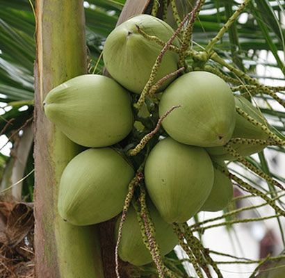 Coconut water benefits and nutrition