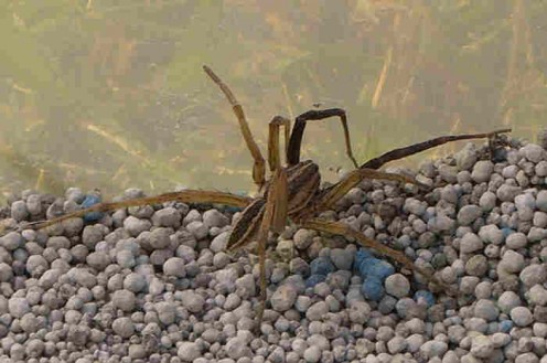 The wolf spider, rabid wolf spider, who met his demise looked very much like this one.