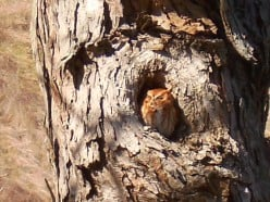 I just love this screech owl. I see him in the cooler months on my drive in to work each morning.