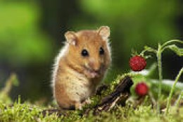 NOTHING CUTE ABOUT A DISEASE-CARRYING RAT THAT INVITES ITSELF INTO YOUR HOMES TO HELP ITSELF TO YOUR FOOD AND OTHER USEFUL ITEMS.