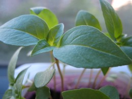 Thai Basil...from seeds