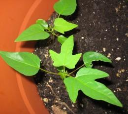 growing vigorously