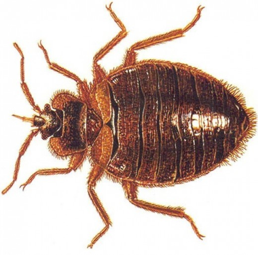How do you get rid of bed bugs