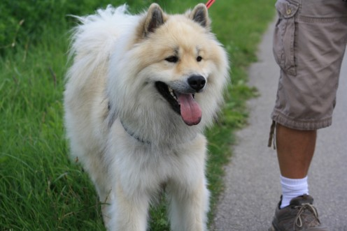 meeting another Eurasier dog like Benda....she is so beautiful....in Prêles, Biel, Switzerland