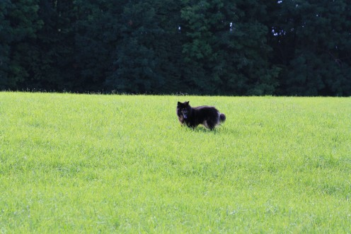 Benda our Eurasier dog enjoying the green fields, in the hills of Prêles, Biel, Switzerland